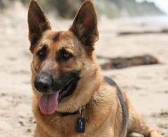 czechoslovakian wolfdog(0.0), carolina dog(0.0), street dog(0.0), wolfdog(0.0), saarloos wolfdog(0.0), dog breed(1.0), german shepherd dog(1.0), animal(1.0), dog(1.0), pet(1.0), tervuren(1.0), belgian shepherd malinois(1.0), east-european shepherd(1.0), carnivoran(1.0),