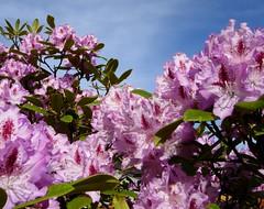 flower, branch, purple, tree, plant, lilac, flora, pink, petal, azalea,