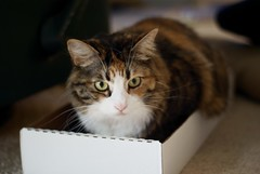 Cat in a box top