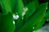 Photo:20090520 Narai-Juku 3 (Shy flower) By BONGURI