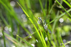 damselfly, dragonfly, dragonflies and damseflies, grass, invertebrate, macro photography, green, fauna, close-up, lawn,