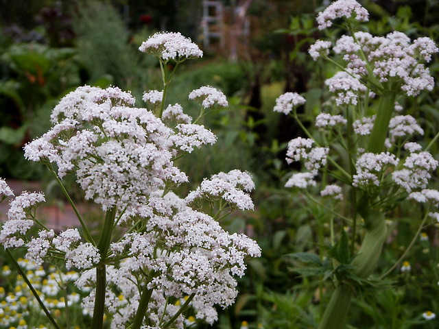 Valeriana officinalis, valerian, Herb Garden, Huntington Library