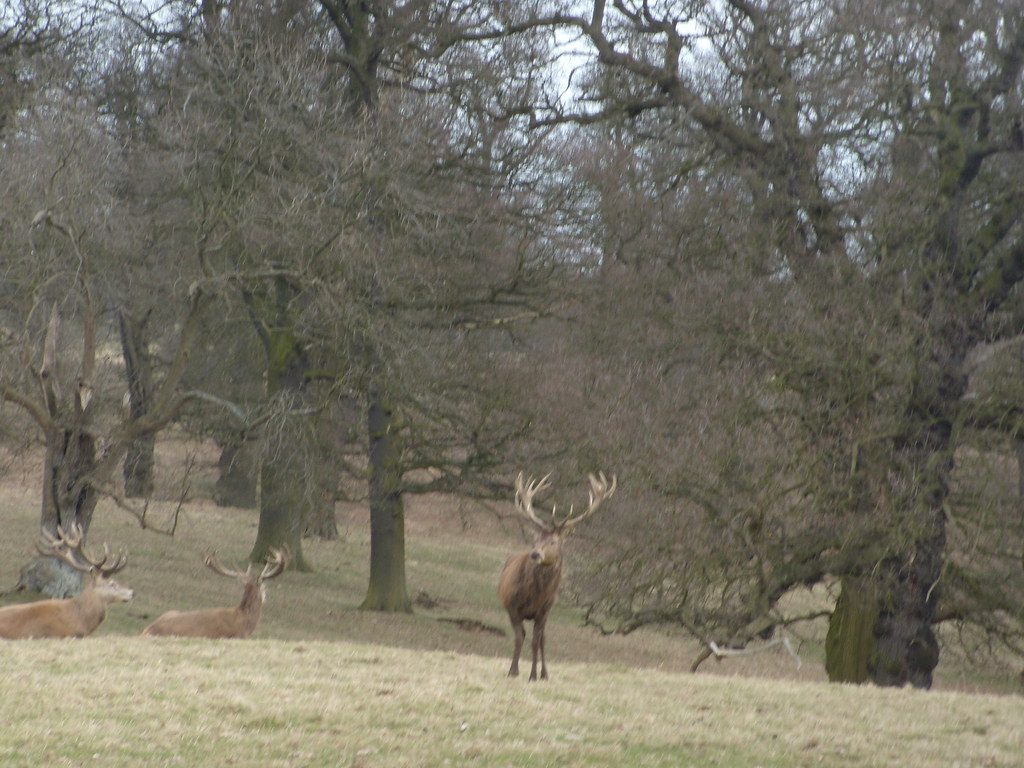 Deer, Woburn Park Bow Brickhill to Woburn Sands