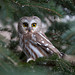 Northern Saw-whet Owl, Monroe Co. NY by Christopher L Wood