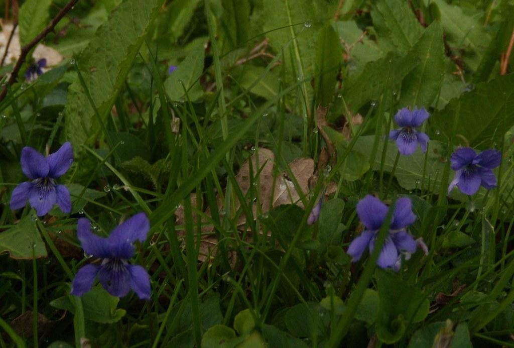 Violets Billingshurst to Amberley