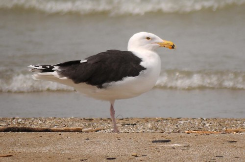 Greater Blackbacked Gull
