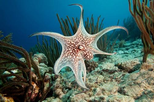 Common Octopus - Bonaire, Netherlands Antilles