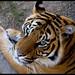 Tigre by Jose Peral Merino