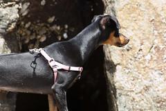 close-up(0.0), animal(1.0), dog(1.0), german pinscher(1.0), dobermann(1.0), pet(1.0), mammal(1.0), guard dog(1.0), miniature pinscher(1.0), pinscher(1.0),