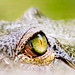 Eye of the Gharial