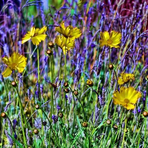 flowers yellow purple gang explore 13 fp nikkor50mm18 nikond80 topazadjust