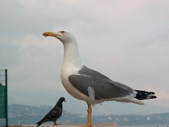 albatross(0.0), wildlife(0.0), animal(1.0), charadriiformes(1.0), fauna(1.0), great black-backed gull(1.0), european herring gull(1.0), beak(1.0), bird(1.0), seabird(1.0),