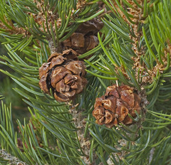 larch, evergreen, flower, branch, pine, leaf, tree, flora, conifer cone, fir, spruce, twig,