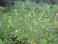 vegetable(0.0), weed(0.0), produce(0.0), common tormentil(0.0), annual plant(1.0), shrub(1.0), flower(1.0), mustard plant(1.0), brassica rapa(1.0), common rue(1.0), plant(1.0), mustard(1.0), subshrub(1.0), herb(1.0), wildflower(1.0), rue(1.0), meadow(1.0),
