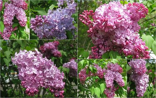 Mosaic Monday: Lilacs