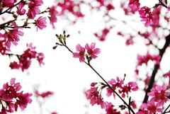 Cherry Blossom 山櫻花