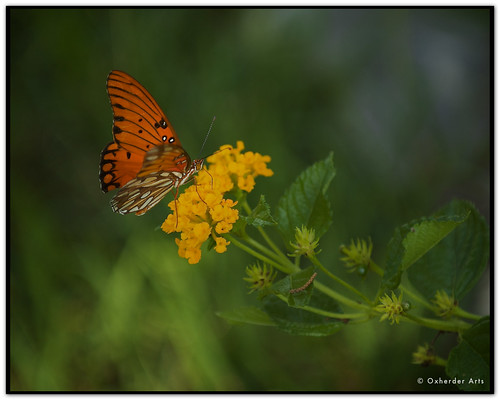 butterfly texas gulf tx hillcountry tao fritillary gulffritillary texashillcountry texaswildflower agraulisvanillae agraulis vanillae chuangtzu abigfave top20texas oscote chuantzu oxherder