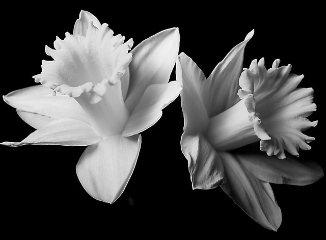 Black and white Daffodils | Flickr - Photo Sharing!
