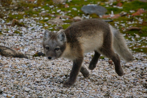 Tundra Arctic Fox In Summer The AP Biology ...