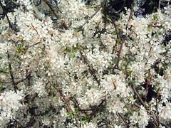 shrub(0.0), berry(0.0), plant(0.0), produce(0.0), food(0.0), blossom(1.0), flower(1.0), branch(1.0), tree(1.0), subshrub(1.0), flora(1.0), prunus spinosa(1.0), spring(1.0),