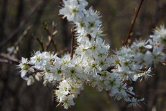 blossom, flower, branch, macro photography, wildflower, flora, close-up, prunus spinosa, cherry blossom,