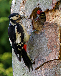 Woodpeckers, this one's my favourite