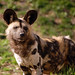 African Wild Dog - Photo (c) Art G., some rights reserved (CC BY-NC-ND)