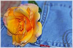 ~ Rose Hips ~