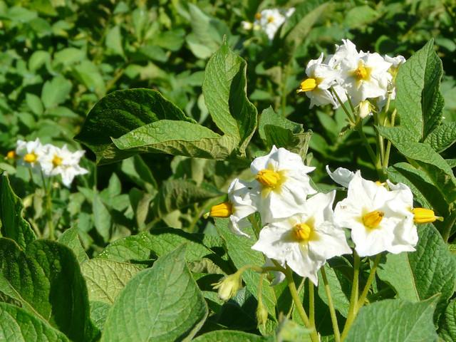 Flor de patata Kennebec