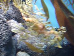 DSC01683-Leafy Sea Dragon