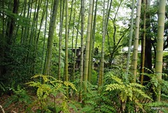 woodland, deciduous, bamboo, tree, grove, green, forest, natural environment, jungle, biome, vegetation, temperate broadleaf and mixed forest,
