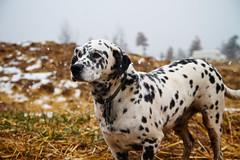 dog breed, animal, dog, pet, dalmatian, carnivoran,