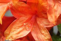 amaryllis belladonna, flower, leaf, red, macro photography, flora, close-up, petal,