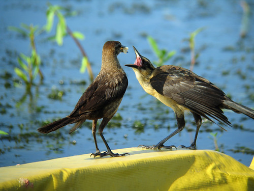 Boat-tailed Grackle--male fledgling begging from mother