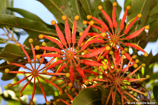 Stenocarpus sinuatus - Firewheel Tree,Wheel of Fire Tree