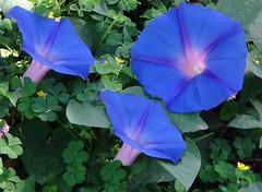 annual plant(1.0), ipomoea violacea(1.0), flower(1.0), ipomoea alba(1.0), plant(1.0), flora(1.0), petal(1.0),