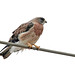 Swainson's Hawk - Photo (c) Rocklin Lyons, some rights reserved (CC BY-NC)