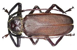 Macrotoma natala Thomson, 1860  male
