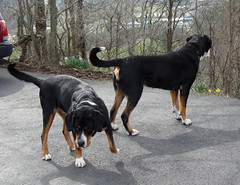 dog breed(1.0), animal(1.0), dog(1.0), pet(1.0), guard dog(1.0), greater swiss mountain dog(1.0), transylvanian hound(1.0), rottweiler(1.0), carnivoran(1.0),