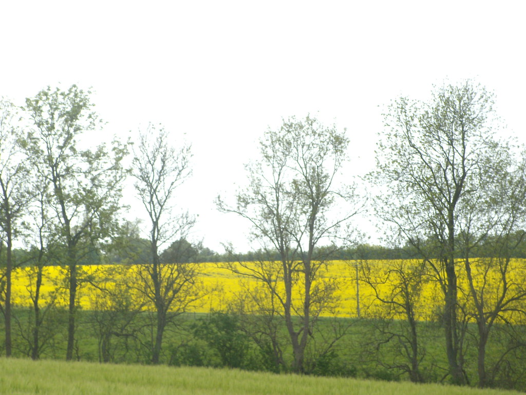 Rapefield through trees Pluckley Circular with extension