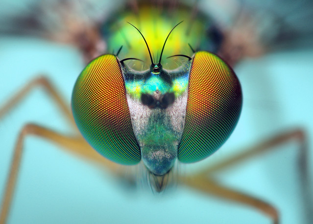 Head of a Longlegged Fly - (Condylostylus)