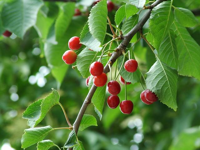 Prunus avium ciliegio pianta da frutto della famiglia for Pianta di ciliegio