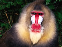 new world monkey(0.0), macaque(0.0), yawn(0.0), nose(1.0), animal(1.0), baboon(1.0), monkey(1.0), mammal(1.0), fauna(1.0), drill(1.0), mandrill(1.0), close-up(1.0), old world monkey(1.0), wildlife(1.0),