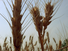 emmer, agriculture, triticale, einkorn wheat, rye, food grain, field, wheat, plant, crop, cereal, plant stem,