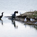 Cormorant, with too much to swallow,  Marshside, Southport, February 2009