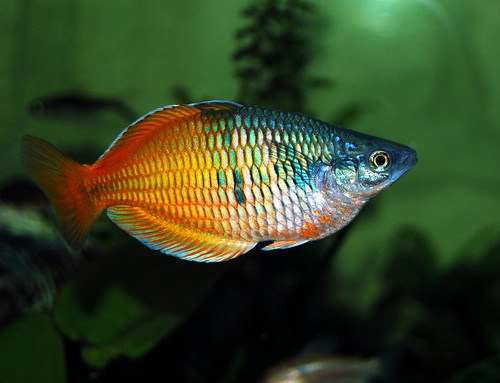 Genus melanotaenia for Dwarf rainbow fish
