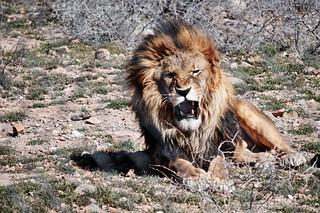 Roar by Tom Check