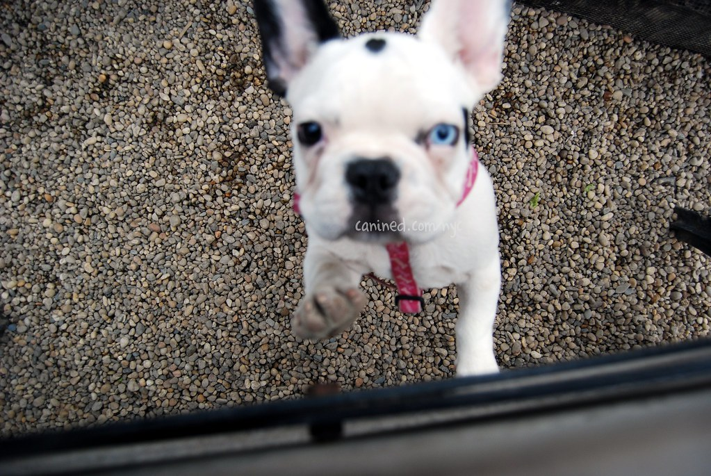 Canined Black White French Bulldog Puppy Dog Pictures Us N Flickr