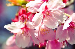blossom, flower, branch, plant, macro photography, flora, close-up, cherry blossom, spring, pink, petal,