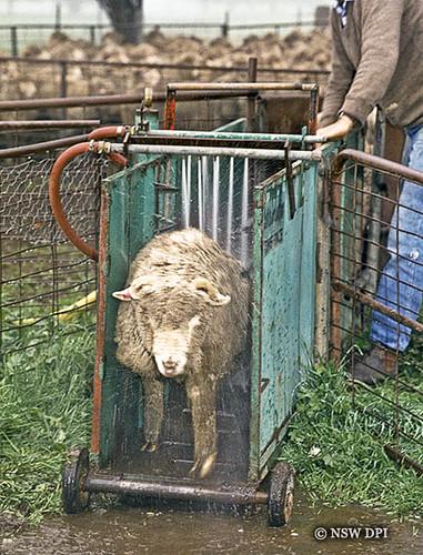 Auto jetting sheep